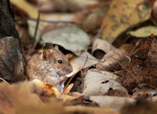 Violetta, die Maus
